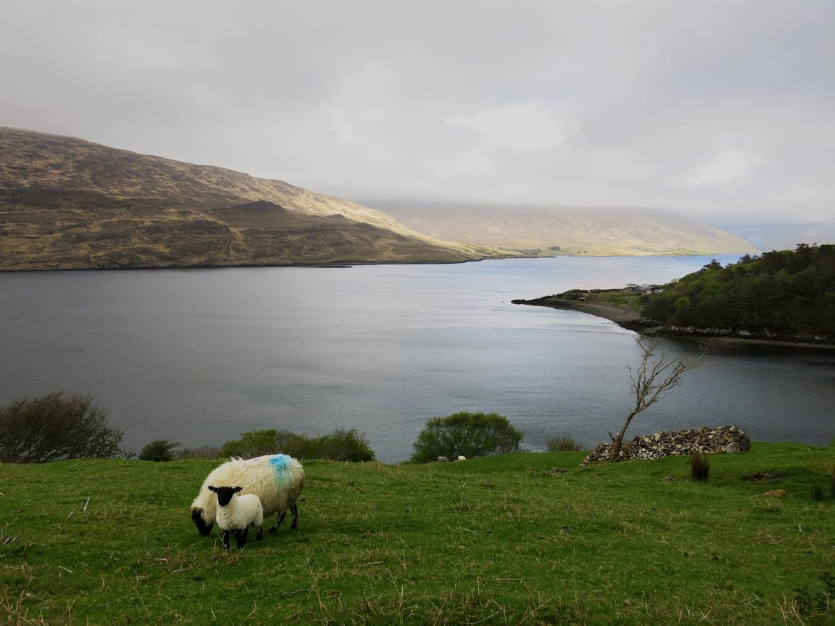 Mignons moutons au fjord de Killary, Virée Verticale