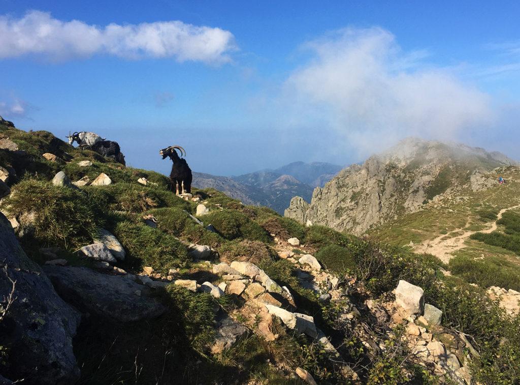 Les plus fidèles pensionnaires des montagnes corses, GR20, Virée Verticale