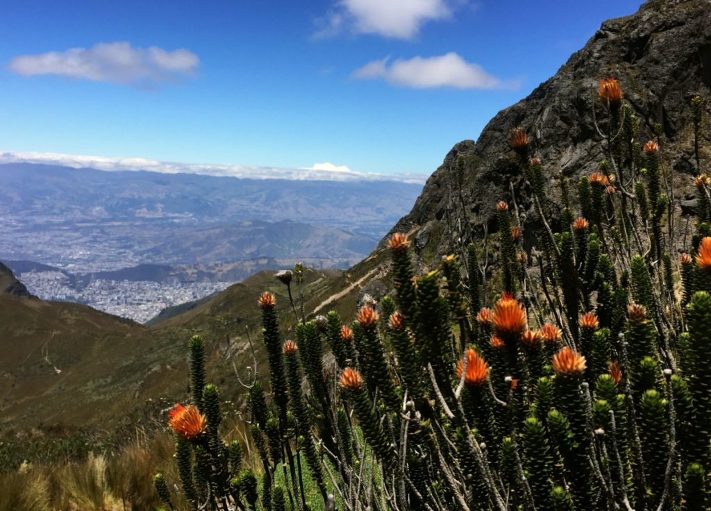 Chuquiragua, la fleur du grimpeur